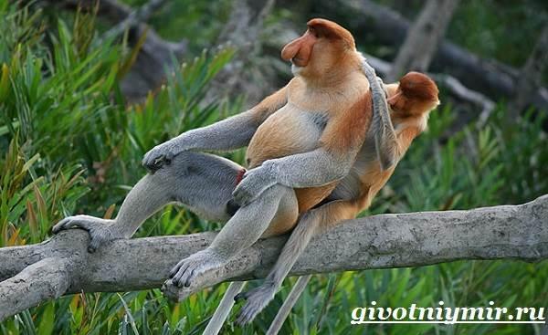 Носач-обезьяна-Образ-жизни-и-среда-обитания-носача-10