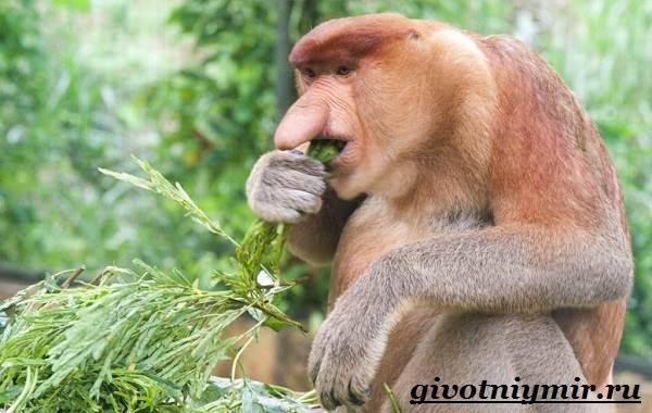 Носач-обезьяна-Образ-жизни-и-среда-обитания-носача-11