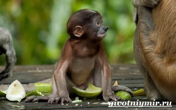Носач-обезьяна-Образ-жизни-и-среда-обитания-носача-12