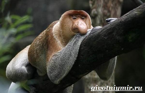 Носач-обезьяна-Образ-жизни-и-среда-обитания-носача-2