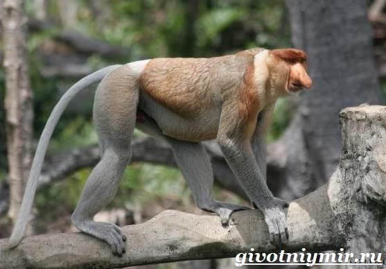 Носач-обезьяна-Образ-жизни-и-среда-обитания-носача-3