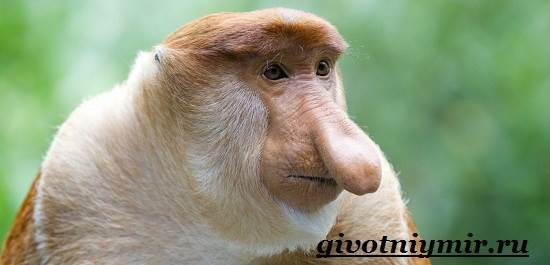 Носач-обезьяна-Образ-жизни-и-среда-обитания-носача-4