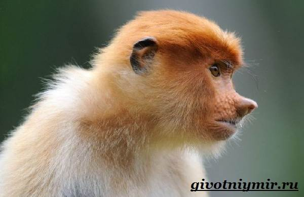 Носач-обезьяна-Образ-жизни-и-среда-обитания-носача-5
