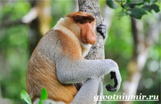 Носач-обезьяна-Образ-жизни-и-среда-обитания-носача-6