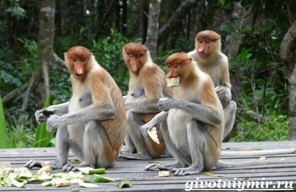 Носач-обезьяна-Образ-жизни-и-среда-обитания-носача-9