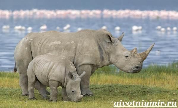 Носорог-животное-Образ-жизни-и-среда-обитания-носорога-2