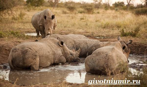 Носорог-животное-Образ-жизни-и-среда-обитания-носорога-5