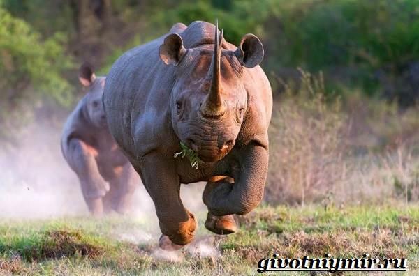 Носорог-животное-Образ-жизни-и-среда-обитания-носорога-6
