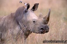 Носорог животное. Образ жизни и среда обитания носорога