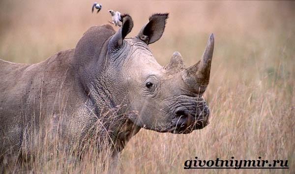 Носорог-животное-Образ-жизни-и-среда-обитания-носорога-7
