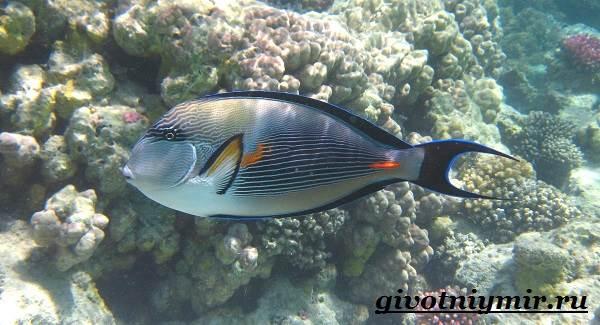 Рыба-хирург-Образ-жизни-и-среда-обитания-рыбы-хирурга-1