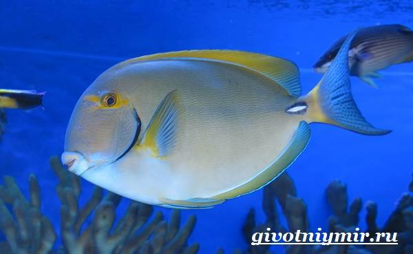 Рыба-хирург-Образ-жизни-и-среда-обитания-рыбы-хирурга-11