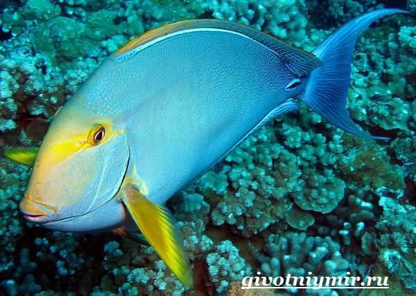 Рыба-хирург-Образ-жизни-и-среда-обитания-рыбы-хирурга-2