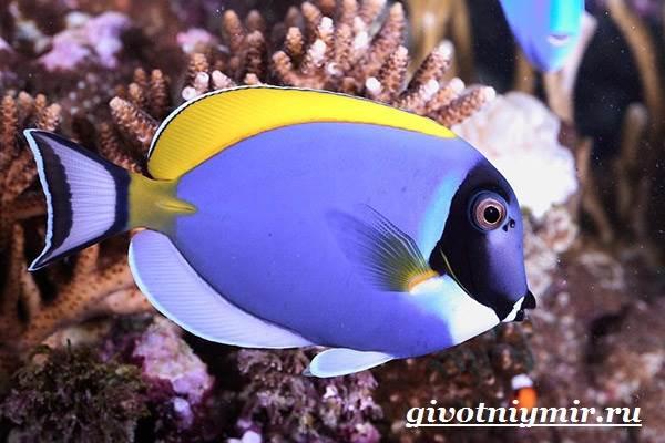 Рыба-хирург-Образ-жизни-и-среда-обитания-рыбы-хирурга-3