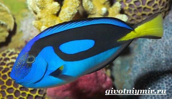 Рыба-хирург-Образ-жизни-и-среда-обитания-рыбы-хирурга-4