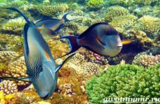 Рыба хирург. Образ жизни и среда обитания рыбы-хирурга
