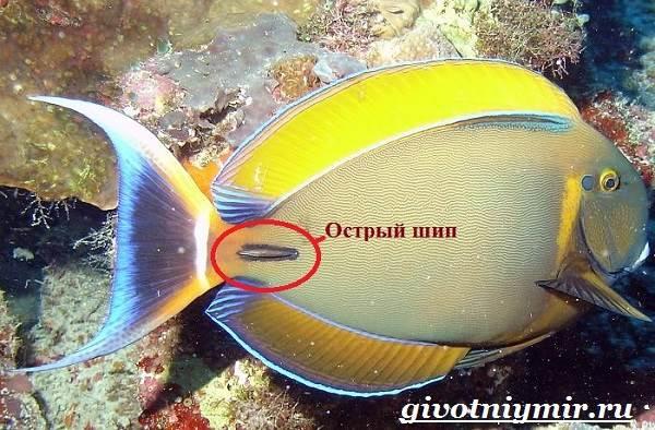 Рыба-хирург-Образ-жизни-и-среда-обитания-рыбы-хирурга-7