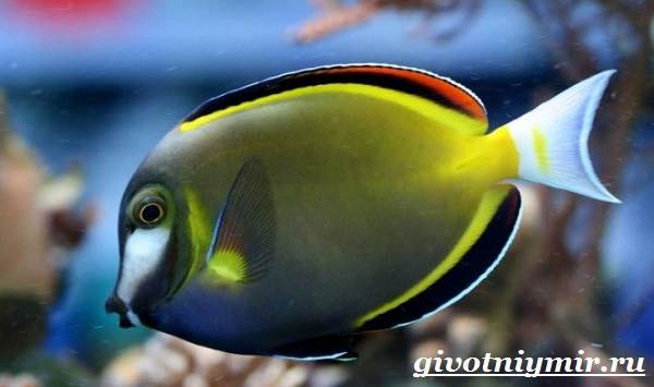 Рыба-хирург-Образ-жизни-и-среда-обитания-рыбы-хирурга-8