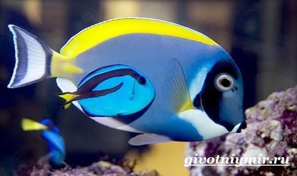 Рыба-хирург-Образ-жизни-и-среда-обитания-рыбы-хирурга-9