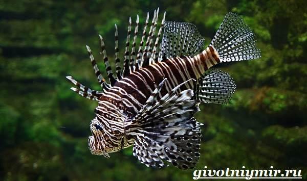 Рыба-зебра-Образ-жизни-и-среда-обитания-рыбы-зебры-3