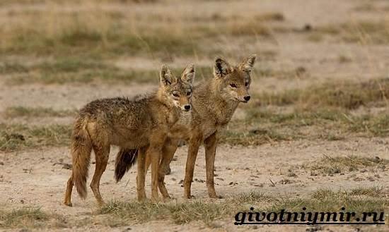 Шакал-животное-Образ-жизни-и-среда-обитания-шакала-10