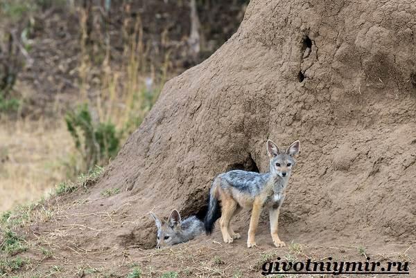 Шакал-животное-Образ-жизни-и-среда-обитания-шакала-4