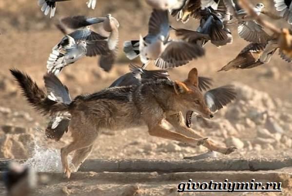 Шакал-животное-Образ-жизни-и-среда-обитания-шакала-6