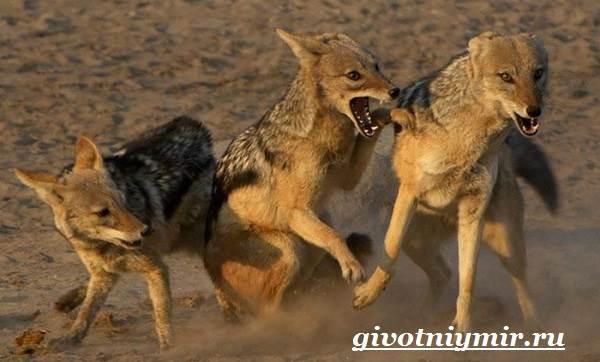 Шакал-животное-Образ-жизни-и-среда-обитания-шакала-7