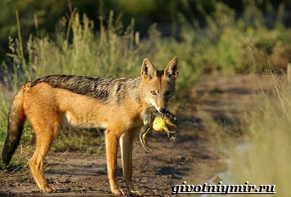 Шакал-животное-Образ-жизни-и-среда-обитания-шакала-9