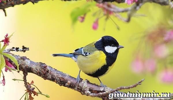 Синица-птица-Образ-жизни-и-среда-обитания-синицы-1