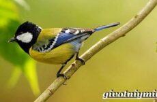Синица птица. Образ жизни и среда обитания синицы