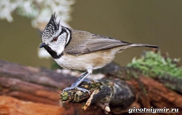 Синица-птица-Образ-жизни-и-среда-обитания-синицы-20