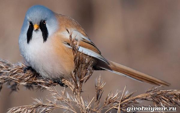 Синица-птица-Образ-жизни-и-среда-обитания-синицы-21