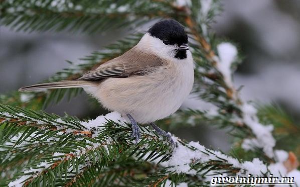 Синица-птица-Образ-жизни-и-среда-обитания-синицы-22