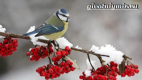 Синица-птица-Образ-жизни-и-среда-обитания-синицы-3