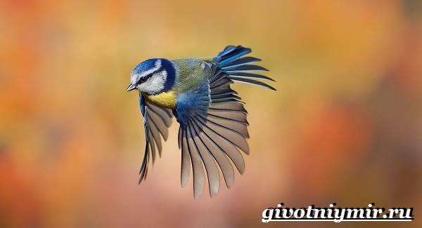 Синица-птица-Образ-жизни-и-среда-обитания-синицы-4
