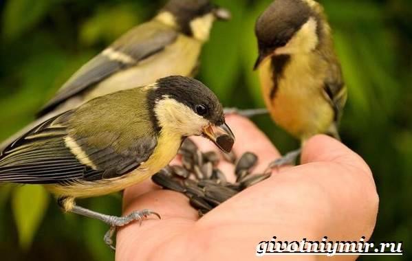 Синица-птица-Образ-жизни-и-среда-обитания-синицы-7