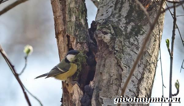 Синица-птица-Образ-жизни-и-среда-обитания-синицы-9
