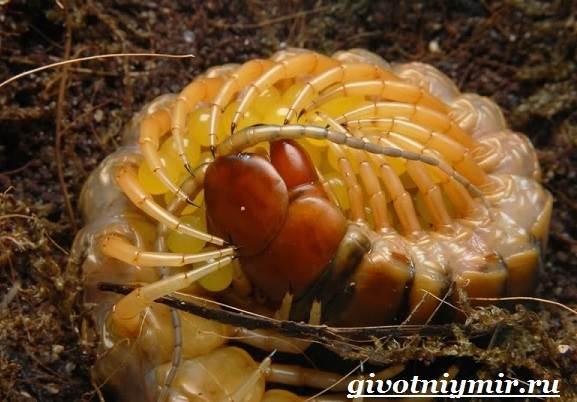 Сколопендра-насекомое-Образ-жизни-и-среда-обитания-сколопендры-11