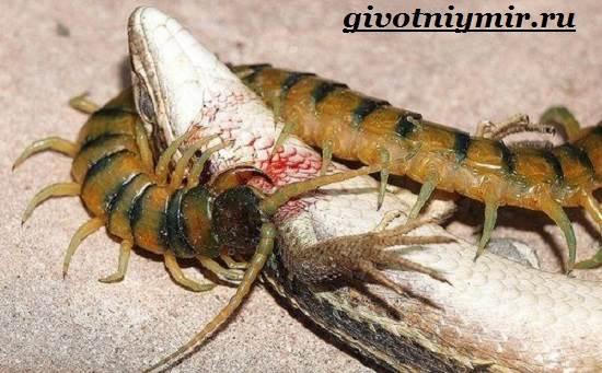 Сколопендра-насекомое-Образ-жизни-и-среда-обитания-сколопендры-8
