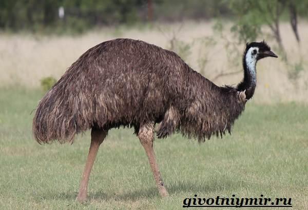 Страус-Эму-Образ-жизни-и-среда-обитания-страуса-Эму-2