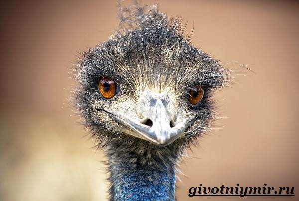 Страус-Эму-Образ-жизни-и-среда-обитания-страуса-Эму-3