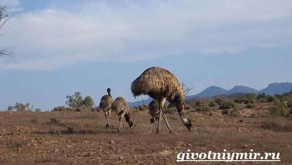 Страус-Эму-Образ-жизни-и-среда-обитания-страуса-Эму-7