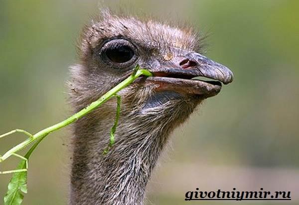 Страус-Эму-Образ-жизни-и-среда-обитания-страуса-Эму-8
