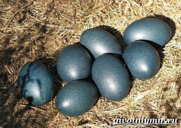 Страус-Эму-Образ-жизни-и-среда-обитания-страуса-Эму-9
