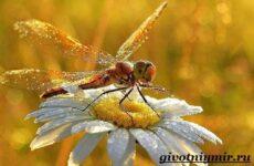 Стрекоза насекомое. Образ жизни и среда обитания стрекозы