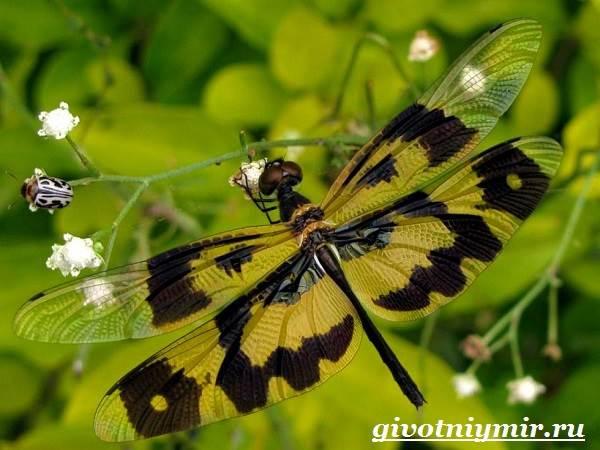 Стрекоза-насекомое-Образ-жизни-и-среда-обитания-стрекозы-2