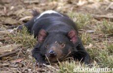 Тасманский дьявол животное. Образ жизни и среда обитания тасманского дьявола