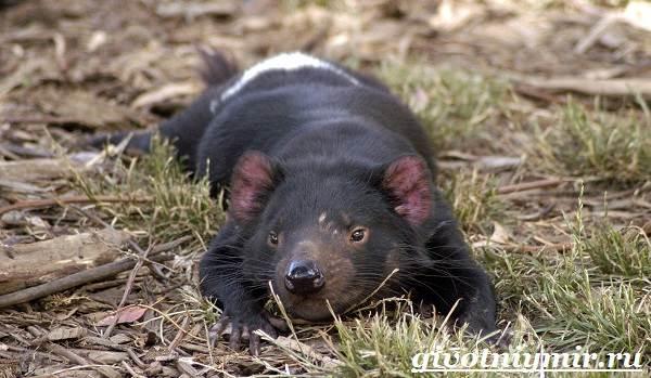 Тасманский-дьявол-животное-Образ-жизни-и-среда-обитания-тасманского-дьявола-1
