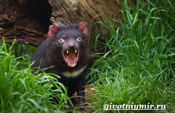 Тасманский-дьявол-животное-Образ-жизни-и-среда-обитания-тасманского-дьявола-2